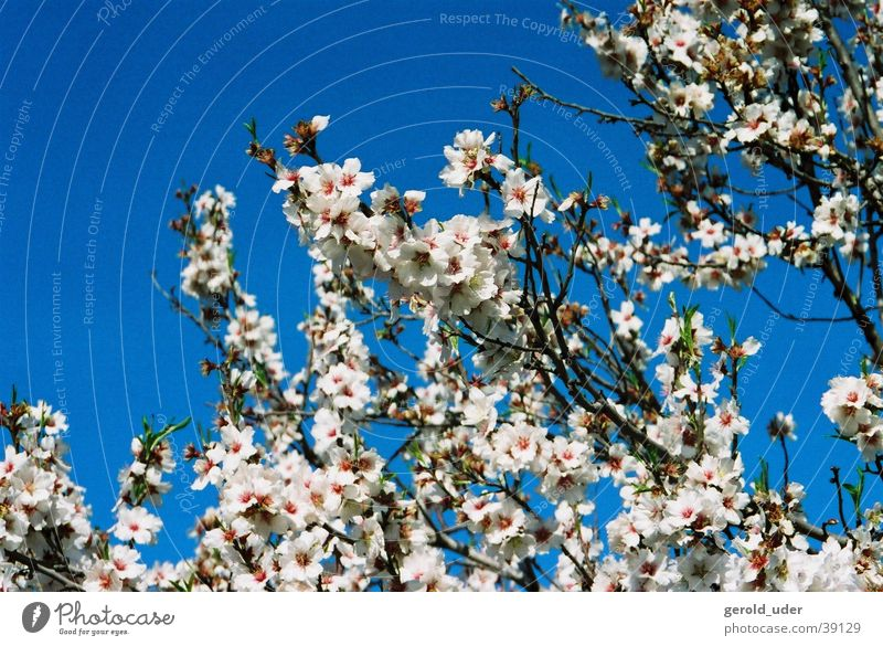 Blue White Tree Spring Blossom Branch Majorca Spring fever Almond tree