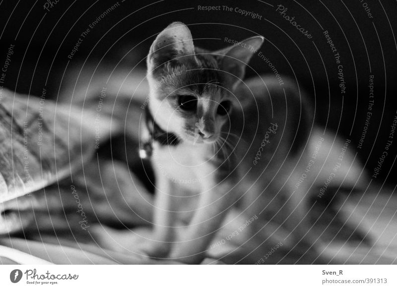 Should I or shouldn't I? Animal Pet Cat 1 Baby animal Observe Think Looking Wait Brash Cute Life Curiosity Interest Black & white photo Interior shot Night