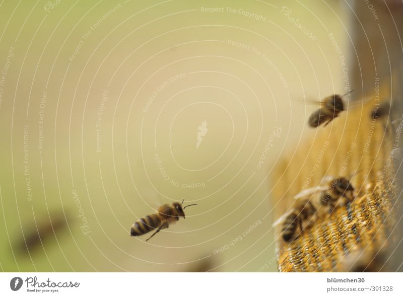 Beautiful Animal Movement Small Eating Work and employment Flying Speed Trip Esthetic Joie de vivre (Vitality) Peoples Insect Bee Teamwork Effort