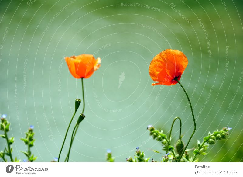 Reminder of summer - or 2 poppies swaying gently in the breeze. Poppy blossom Summer Nature Red Flower Blossom Plant Exterior shot Environment Colour photo