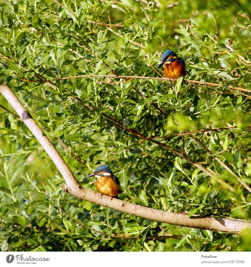 Little break - or two young kingfishers sitting on branches taking a little break. Kingfisher 2 Blue Brown Green Animal Colour photo Exterior shot Bird