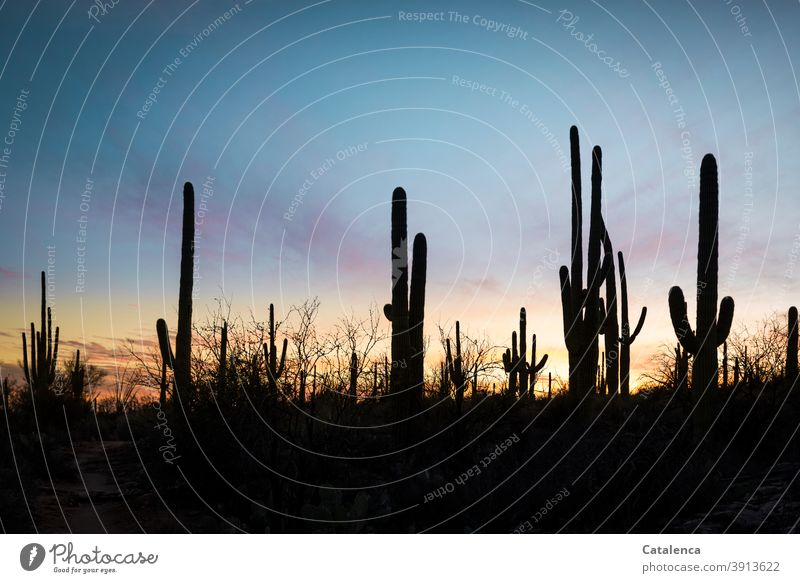 In the foreground the silhouettes of the saguaro cacti, in the background dusk Nature plants Cactus Evening Twilight Sky sunset Saguaro cactus Silhouette