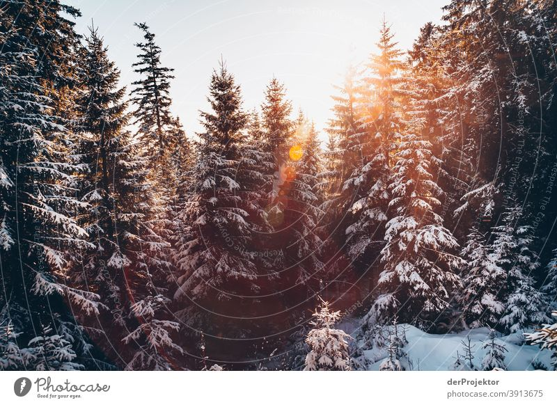 Snow covered conifers backlit with sun in the Harz mountains Joerg farys National Park nature conservation Lower Saxony Winter Experiencing nature