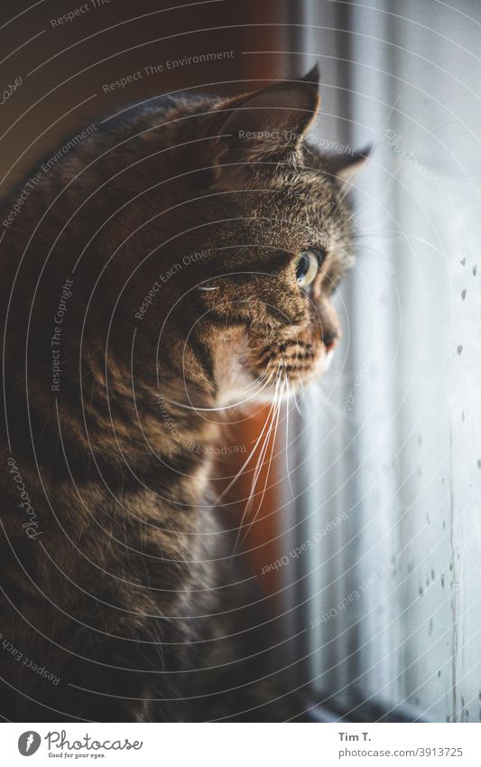 my cat watches the blackbird in the yard hangover Cat Kitchen Window see Animal Pet Domestic cat Animal portrait Cute Pelt Colour photo Animal face Looking