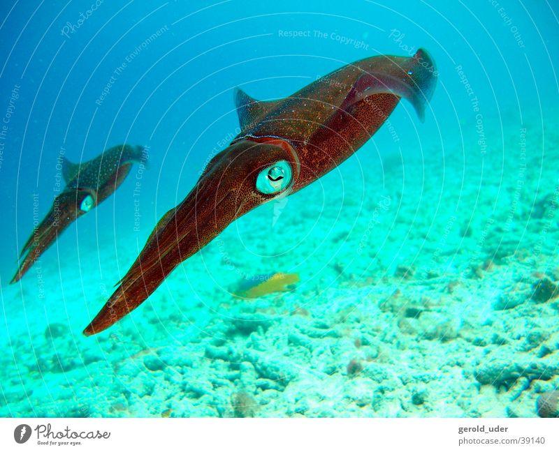 squid Animal Dive Underwater photo In pairs Pair of animals Swimming & Bathing