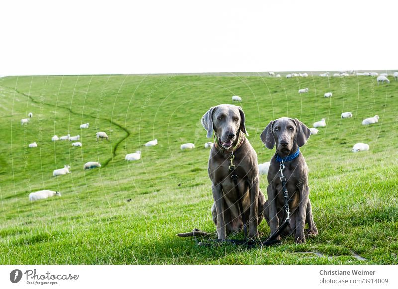 Two Weimaraner hunting dogs sitting obediently in front of flock of sheep Hunting dogs Sit Obedient two Couple youthful Old leash Neckband Flock Pointing dogs
