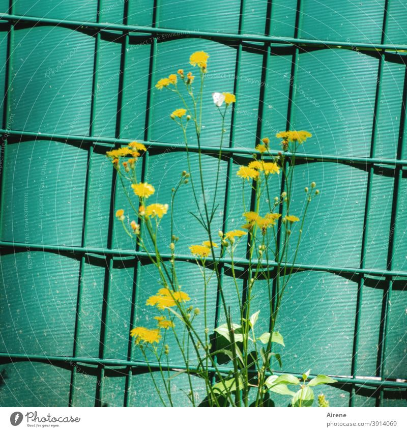 Life in the countryside Flower meadow edge Fence Hoarding Screening tarpaulin Corrugated sheet iron Plastic Green Border Yellow Small Graceful Pippau Weed