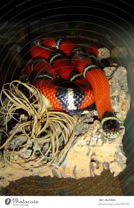 King snake (Lampropeltis Triangulum Sinaloa) Terrarium North America king snake Snake triangular snake milk snake Mexico