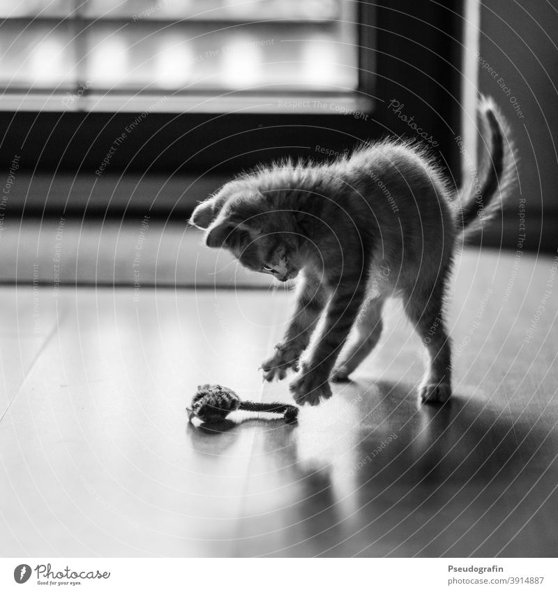 The Mouser Cat Kitten Hunter Playing Toys Catch game Practice Pet Animal Cute Mammal Baby animal Domestic cat Pelt cute