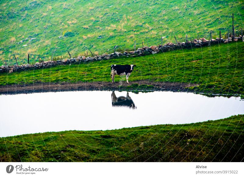 cow near the pond portrait animal nature farm mammal white head agriculture face black background isolated cattle beef brown grass cute domestic funny wildlife