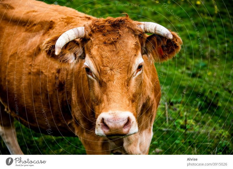 portrait of red cow animal nature farm mammal white head agriculture face black background isolated cattle beef brown grass cute domestic funny wildlife dairy