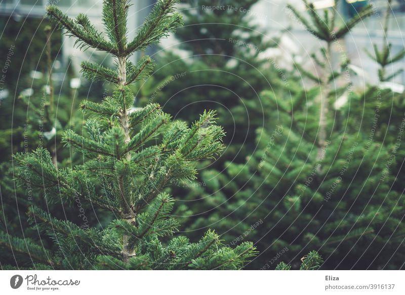 fir trees firs Nordmann fir Shopping Christmas tree sale Tradition Green Coniferous trees Nature Fir tree