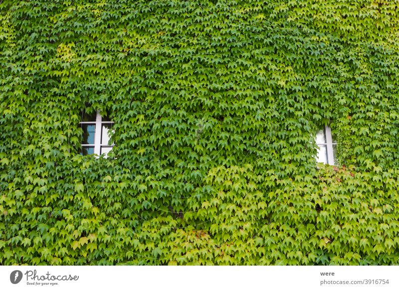 House facade planted with wild wine in the old town of Schopfheim in the Black Forest Background Baden Würtemberg Germany Pattern Recreation building copy space