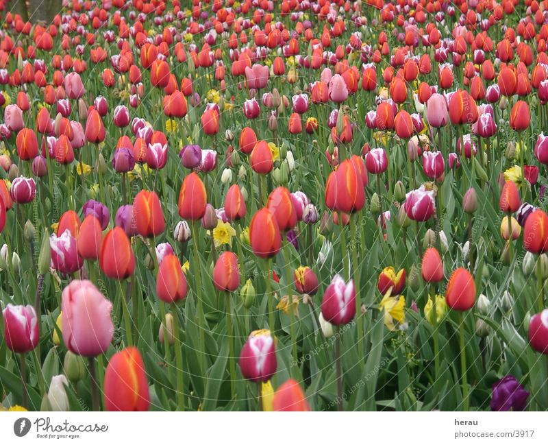 "<font color=""#ffff00"">-==- proudly presents Flower Tulip Floriade"