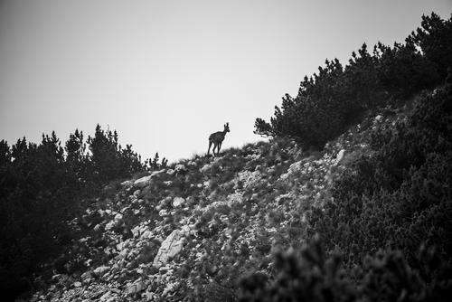 ibex silhouette nature wild animal alpine europe wildlife wilderness mammal rock goat natural landscape mountain alps horn european male fauna national
