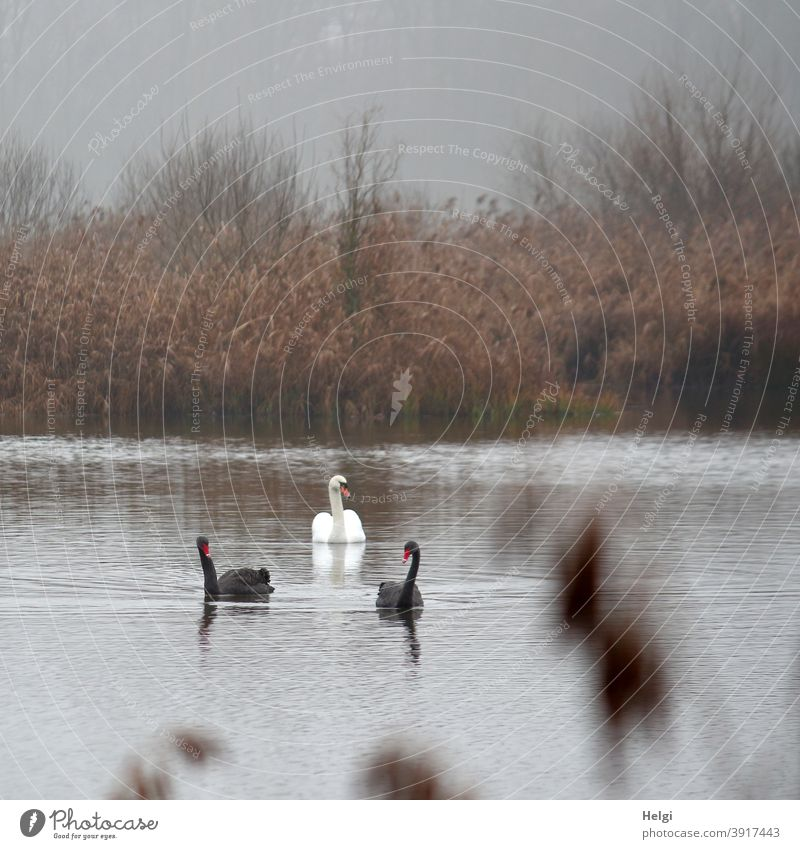 Neighborhoods | two black swans and a white swan swim on the pond on a foggy December morning Swan Bird Black Swan White Morning in the morning Fog Pond Water