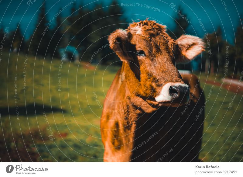 cow Cow mountains Nature animals out outdoor Exterior shot Animal Colour photo Landscape Mountain Meadow Willow tree Vacation & Travel Farm animal Cattle Summer