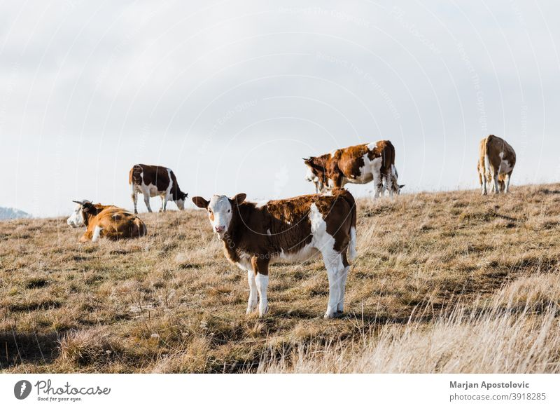 Group of cows in the field in autumn agriculture animal animals beef breed brown calf cattle country countryside dairy day domestic eating europe fall farm