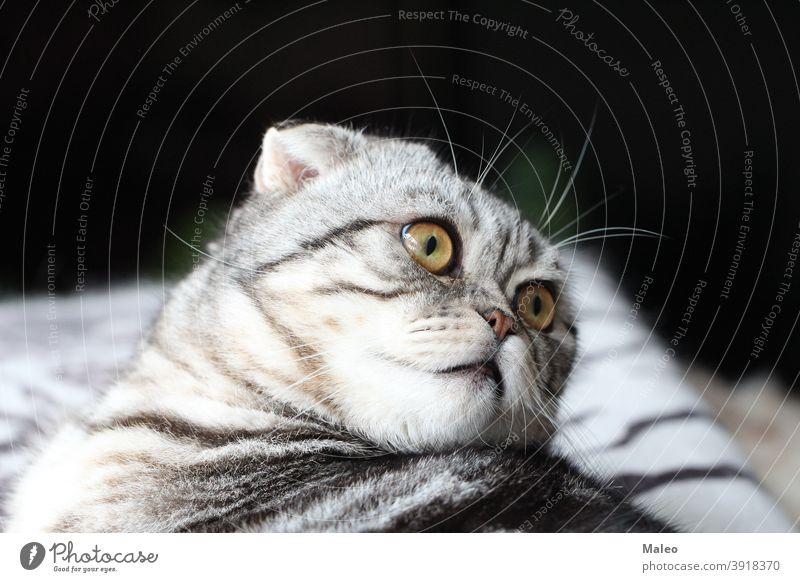 Portrait of a beautiful purebred domestic cat / British Shorthair kitten Domestic cat Cat Pet Mammal Pelt Animal Looking Cat eyes Animal portrait Cat's head