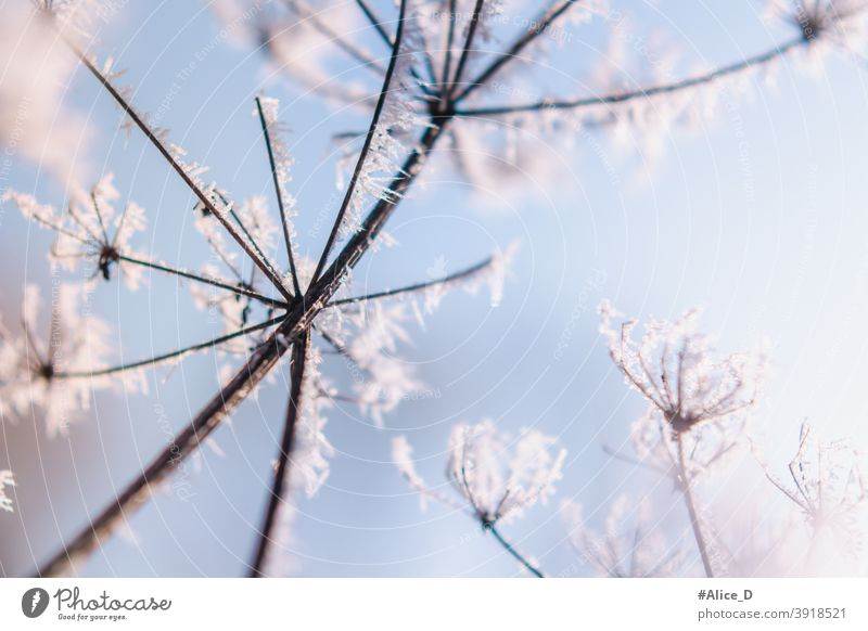 Ice Flower Nature Winter Season Details book cover Abstract background pretty Beauty & Beauty Snowstorm Blue botanical Branch Close Close-up Cold Cool Cover