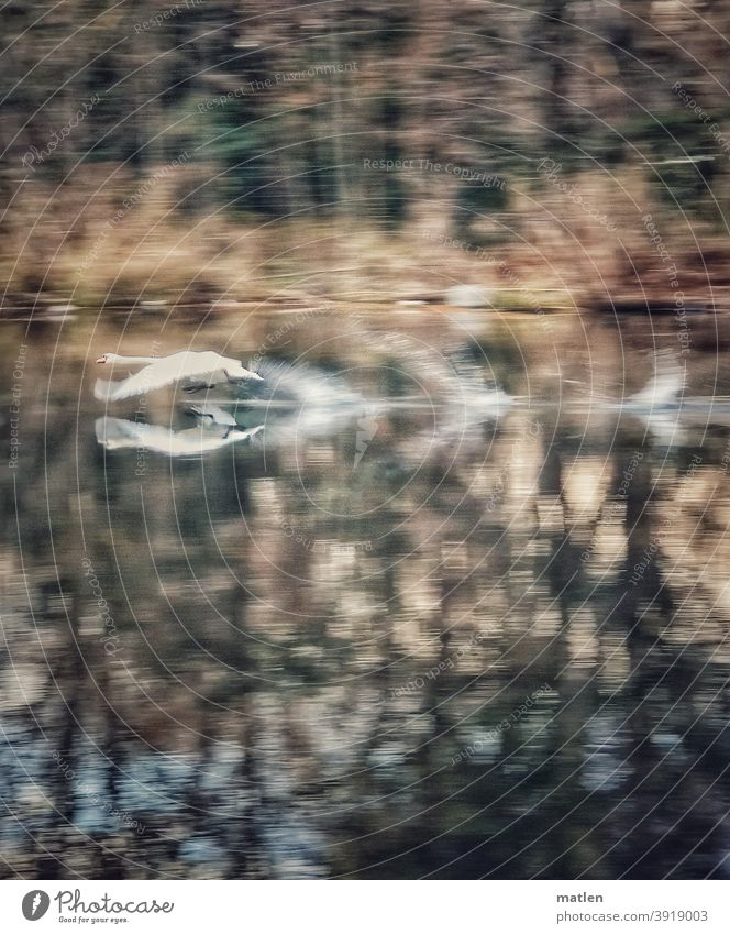 Difficult start of a swan Swan Pond trees launch flapping Flying Bird Deserted Exterior shot Wild animal Grand piano Day Colour photo mobile