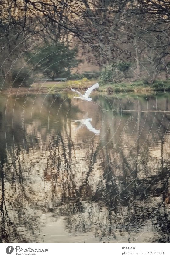 starting swan with the mobile tracked Swan Bird Exterior shot Deserted flight launch Pond Colour photo trees Reflection in the water Animal Nature Day