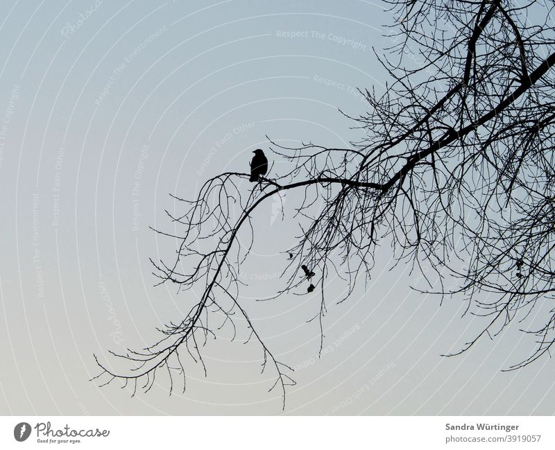 Crow/raven sitting on bare tree in winter Winter Bleak Treetop Winter mood Sky Nature Landscape Blue Gloomy Silhouette contour depression Hope hopelessly