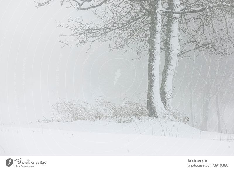 Forest in snowy landscape, Galicia, Spain. winter wild blizzard meteorology weather winter scene mountain foggy calm background minimalism solitude tranquil