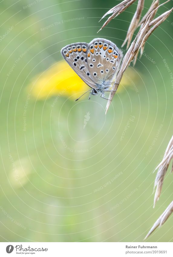 A small butterfly sits on a grass panicle. Yellow flowers bloom in the green meadow background. Bluebells Polyommatus icarus Butterfly butterflies blue Nature