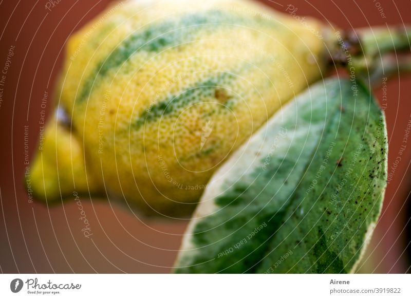 Longitudinal stripes make slim, not cute Lemon Sour Acid citric acid Stripe Yellow Green Pattern vertical strip Lemon peel shell Leaf Lemon tree Organic produce