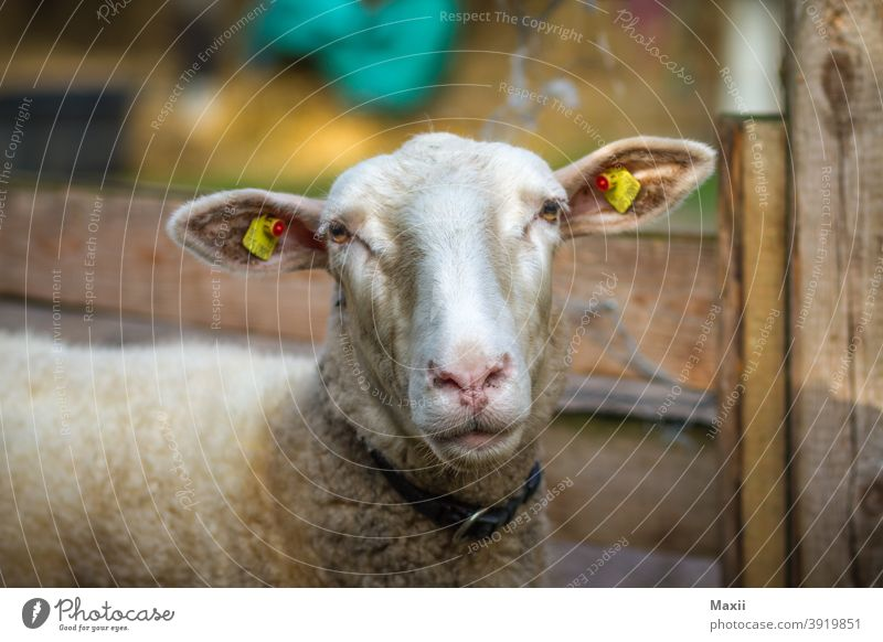 sheep Wide angle Deep depth of field Contrast Silhouette Exterior shot Multicoloured Colour photo Nature Environment Swede Lake boat Sheep portrait Animal