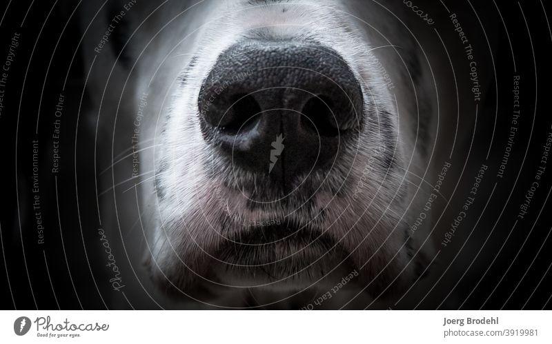 Dog nose of a Dalmatian dog's nose Snout Black White blotch points Dab Pelt Beard hair sniff nostrils Close-up Animal Pet Animal portrait