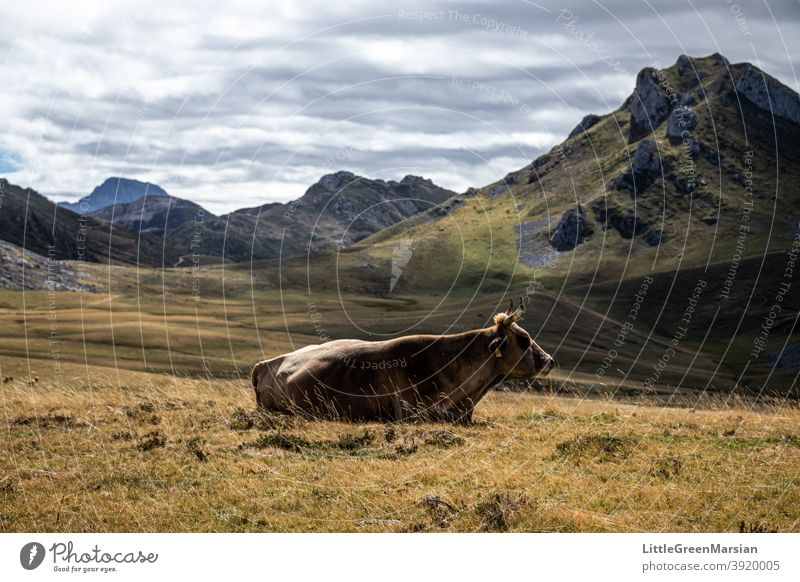 Cow resting on alpine pasture Mountain Light Shadow Rock Moss Grass Clouds Stone Rubble Steep Hiking Alpine Landscape Exterior shot Day Alps Vacation & Travel
