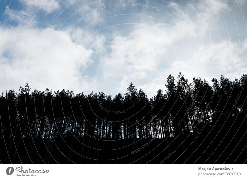 Silhouette of a pine tree forest in the mountains adventure background beautiful beauty blue calm clouds day deforestation earth ecology ecosystem environment