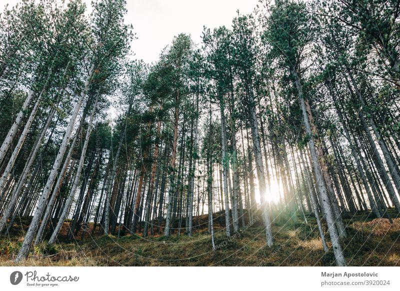 Pine tree forest in the mountains adventure autumn background beautiful branch conservation day deforestation environment evergreen explore forestry growth hill