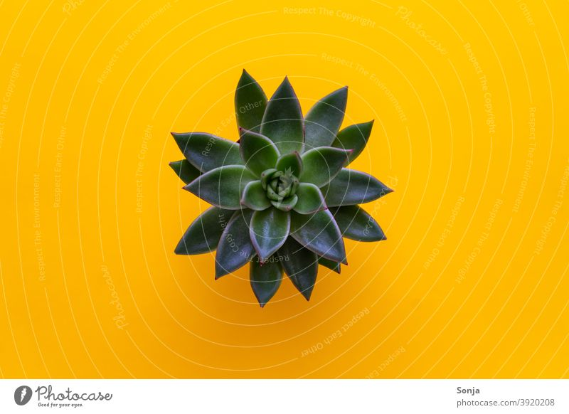 Top view of succulent on isolated yellow background Green plan segregated Yellow Nature naturally Plant Close-up Leaf pretty Growth leaves Botany Detail Colour
