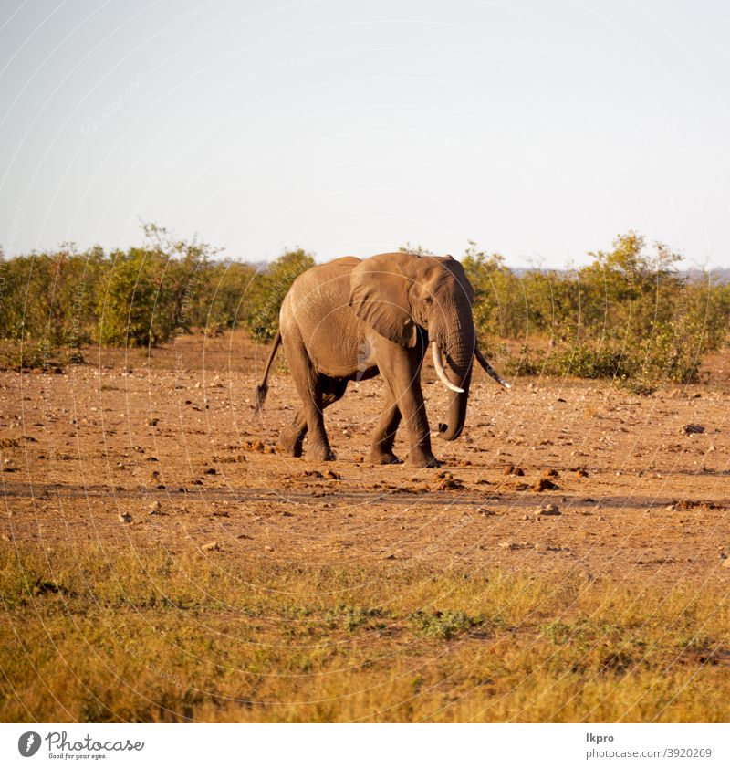 in south africa     wildlife  nature  reserve and   elephant bush african safari mammal big animal tree grass trunk savannah park national tusk loxodonta