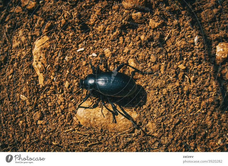 a black beetle on the ground of a field predator biology insect bug flightless invertebrate large piece portrait rain resting species violet zoology antennae