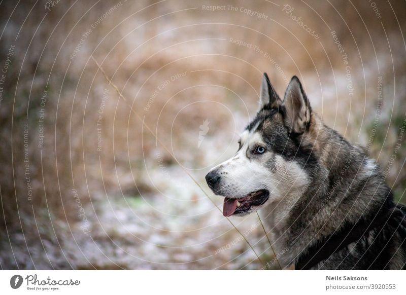 Siberian husky looking for new adventures malamute dog winter walk travel going sitting seek friend Animal Exterior shot Sled dog Colour photo Snow