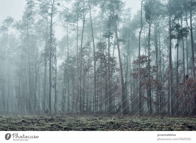 Forest in heavy fog. Nature landscape view of foggy forest in autumn season background day dim environment explore green natural natural background