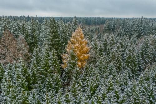 The stranger - snowy winter at the green treetops, but one broad-leaved tree is a orange colored one - constrast in a seasonal landscape christmas background