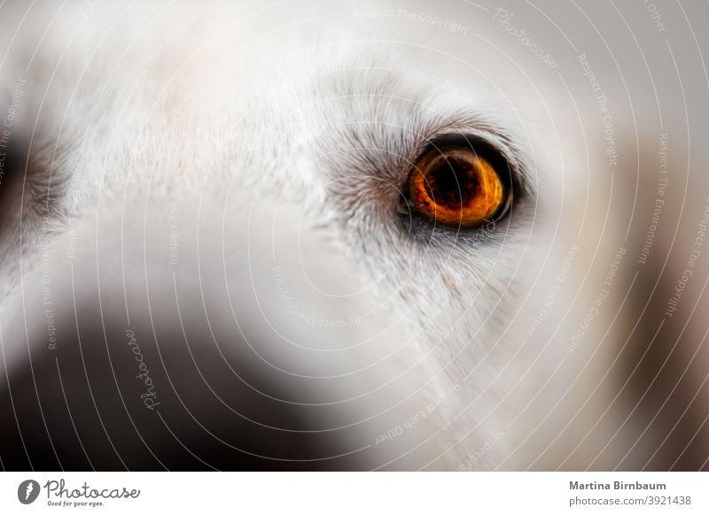 Eye of a Labrador Retriever, selective focus eye attentive light iris labrador retriever animal pet white face beautiful closeup fur dog eyes mammal canine