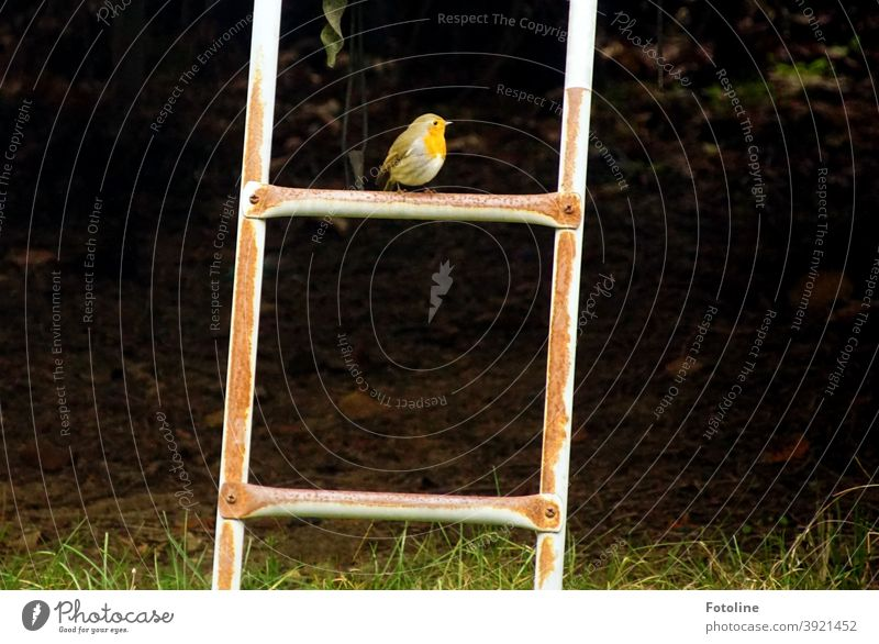 Lonely Christmas - or a little robin sits on the top rung of a ladder and looks around. Robin redbreast Bird Animal Exterior shot Nature Colour photo 1 Deserted