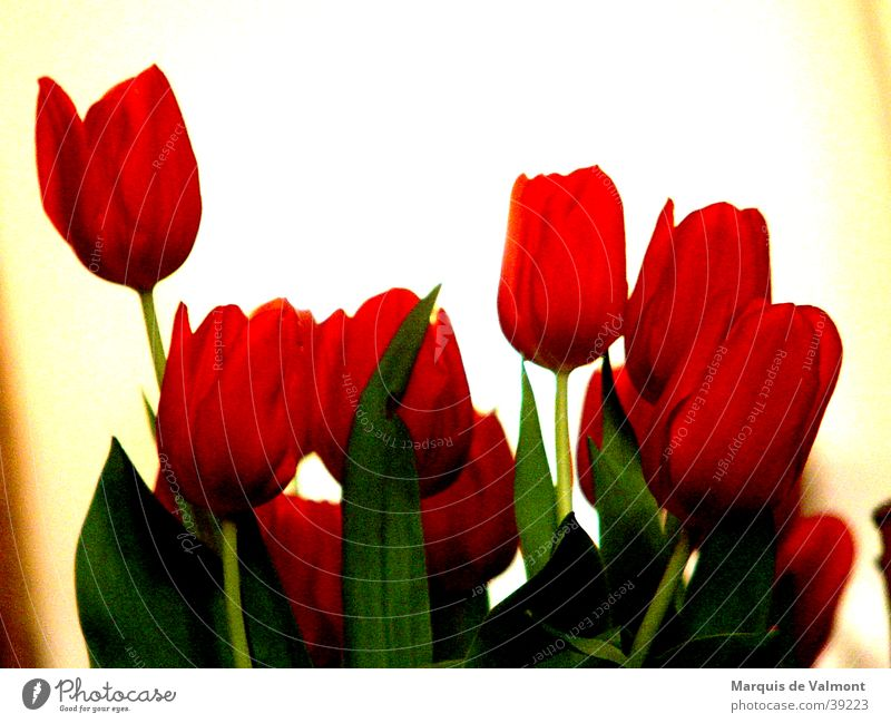 Flower Green Red Leaf Blossom Tulip Netherlands Flare Calyx