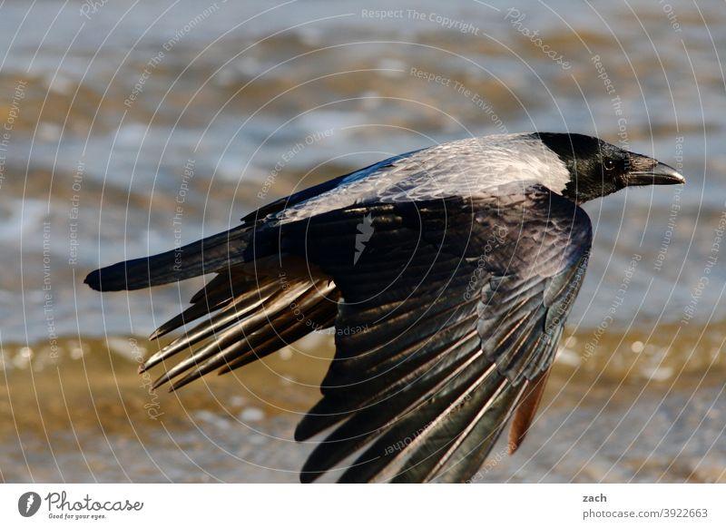 Let's get out of here... raven Crow Bird Flying Animal flight Grand piano Water swift Elegant Black Raven Bird Ocean