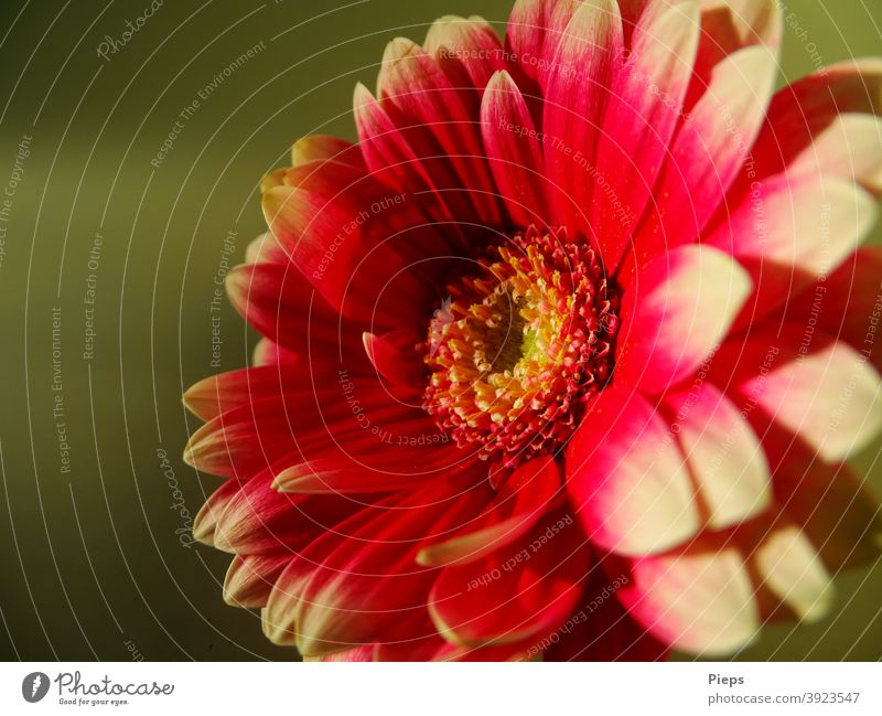 Red gerbera with white tips against green background Flower petals Two-tone Floristry Gift ornamental Friendship Sincerity naturally Fresh Transience