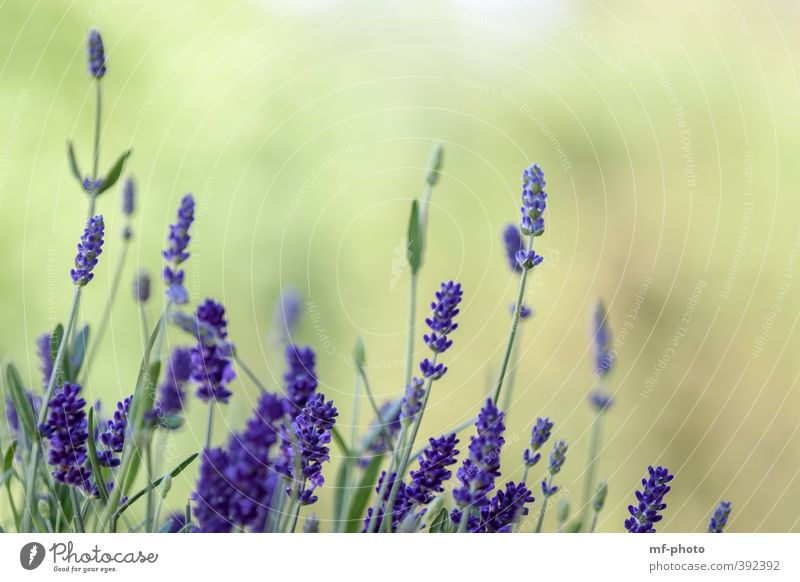 Nature Blue Green Summer Plant Landscape Environment Violet Lavender