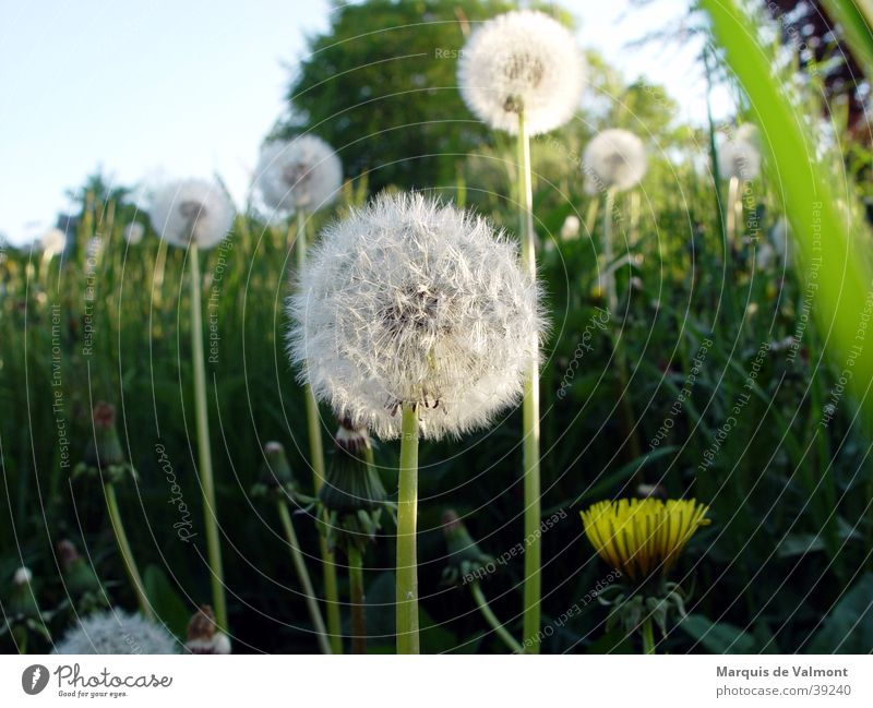 Green Sun Summer Meadow Grass Dandelion