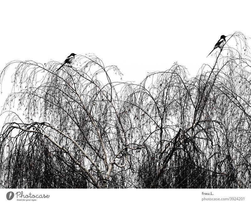 Two magpies in winter Bird Animal Nature Tree Birch tree Couple monogamous Wild bird Raven Bird Sky
