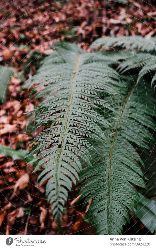 Fern in autumn leaves Fern leaf Autumn leaves Plant Foliage plant Colour photo Deserted Nature Green Wild plant Leaf Forest Detail Winter foliage Day
